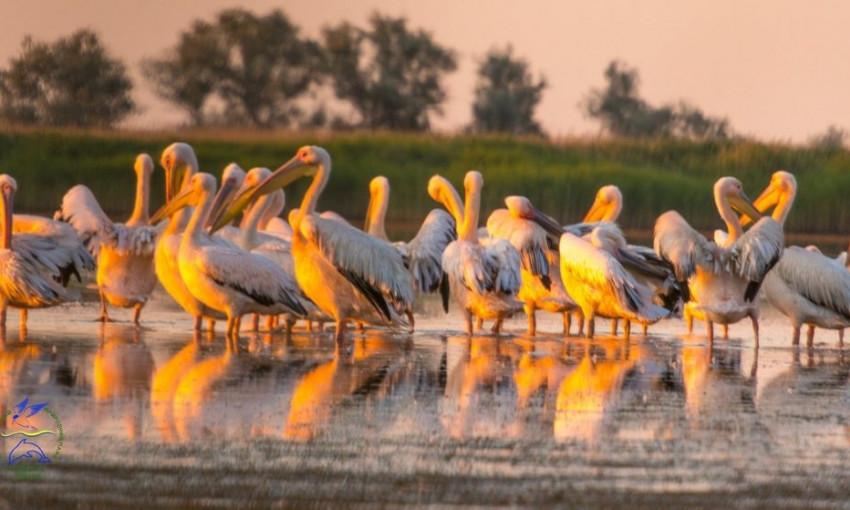 В сеть выложили красивое видео с розовыми пеликанами