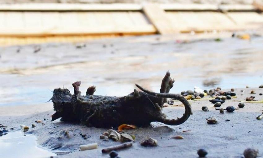 Экоактивист запечатлел на камеру гору отходов и мёртвых крыс на пляжах Аркадии