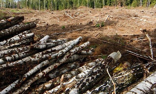 Лесничий «не заметил» незаконную вырубку леса: ущерб оценили в полтора миллиона